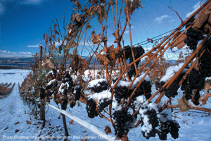 Vineyard during Winter in Kelowna